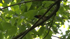 Black and red bird perched on a tree branch, hopping from branch to branch, possibly an American Redstart