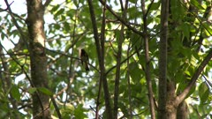 Black and red bird perched on a tree branch, possibly an American Redstart
