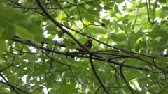 Small black and red bird, possibly an American Redstart, perched on a tree branch takes flight; scenic view of the forest
