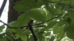Small black and red bird perched on a tree branch, possibly an American Redstart
