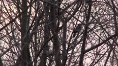 Pair of birds perched on bare tree branches, possibly Northern Flickers