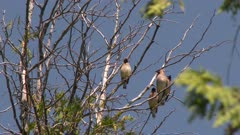 Group of birds perched on bare tree branches, possibly Cedar Waxwings