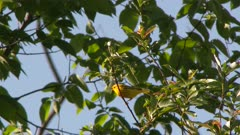 Small yellow bird perched in a tree takes flight, possibly a Yellow Warbler