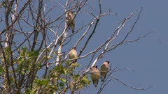 Group of birds perched on bare tree branches takes flight, possibly Cedar Waxwings