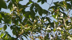 Small yellow bird perched in a tree, flying from branch to branch, possibly a Yellow Warbler