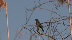 Bird perched on bare tree branch, preening, possibly a female Red-winged Blackbird