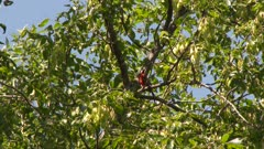 Red bird perched in tree, chirping, possibly a Northern Cardinal