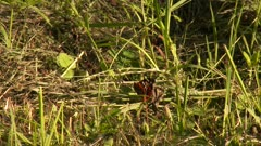 Black and red butterfly on the forest floor, gently fluttering wings in the sun, possibly a Red Admiral
