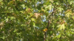 Brown bird and black and yellow bird perched in a tree take flight, possibly a Baltimore Oriole