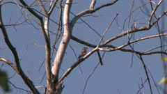 Woodpecker perched on a tree branch takes flight, possibly a Hairy Woodpecker
