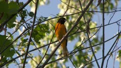 Black and orange bird perched in tree takes flight, possibly a Baltimore Oriole