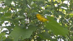 Small yellow bird perched in a tree, hopping from branch to branch, possibly a Yellow Warbler