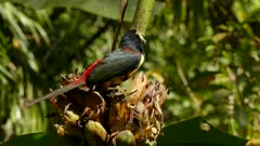Collared Aracari perched on large palmtree flower while feeding from it