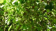 antshrike