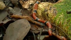 Venomous Coral Snake slowly crawling away on jungle floor