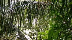 Howler Monkeys (Alouatta) jumping a far distance between two branches