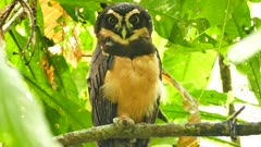Spectacled Owl (Pulsatrix Perspicillata) closing and opening its eyes