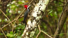 Crimson-Crested Woodpecker (Campephilus Melanoleucos) on blurry background