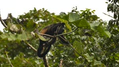 Mantled Howler Monkey (Allouatta Palliata) munching on large leaves