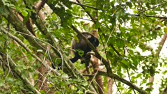 Mantled Howler Monkey (Allouatta Palliata) climbing down branch in jungle