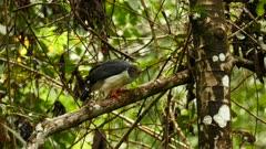 Semiplumbeus Hawk (Leucopternis Semiplumbea) watching prey in jungle