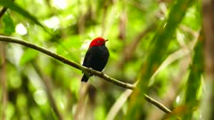 Red-Capped Manakin (Ceratopipra Mentalis) turning head left and right