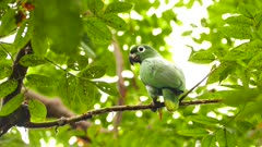 Mealy Parrot (Amazona Farinosa) moving slowly sideways on branch