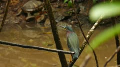 Green Heron (Butorides Virescens) perched on branch in pond
