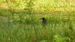Rufescent Tiger Heron walking in high grass in wetlands