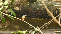 Green-and-rufous Kingfisher (Chloroceryle Inda) perched above pond