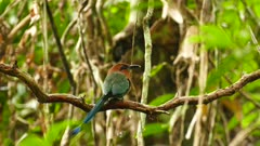 Broad-Billed Motmot swigning its tail on liana to cheat predator