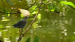 Green Heron slowly making its way up a branch above a pond