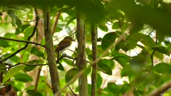 Bright-Rumped Attila (Attila Spadiceus) perched on slowly moving branch