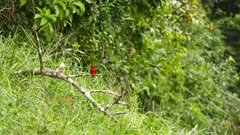 Red bird Summer Tanager and flycatcher perched on same branch