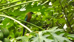 Blue-Capped Motmot perched in exotic tree with big fruits in jungle