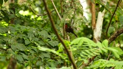 Red-Throated ant Tanager (Habia Fuscicauda) jumping up a branch