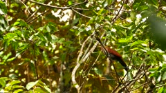 Squirrel Cuckoo (Piaya Cayana) perched and looking around