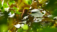 Squirrel Cuckoo feeding on caterpillar hiding in leaves