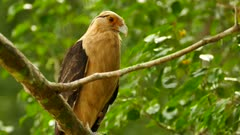 Yellow-headed Caracara (Milvago Chimachima) with missing leg on tree
