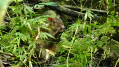 Central American Agouti holding food and chewing on it in forest