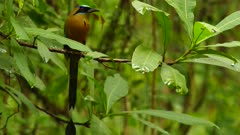 Blue-Capped Motmot on slow moving branch in lush rainforest
