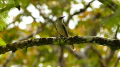 Tropical Mockingbird (Mimus Gilvus) perched with bokeh background