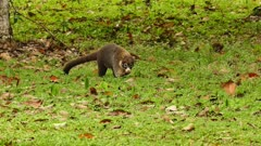 White-Nosed Coati (Nasua Narica) walking in grass with leaves