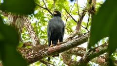 Common Black Hawk filmed through blurry leaves moving head