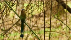 Blue-crowned Motmot perched on bamboo and flying away