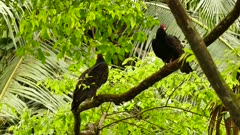 Pair of Turkey Vulture (Cathartes Aura) with palm tree in background