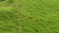 Family of Capybara (Hydrochoerus Hydrochaeris) walking in thick grass