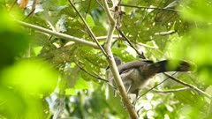 Grey-Headed Chachalaca (Ortalis Cinereiceps) looking around