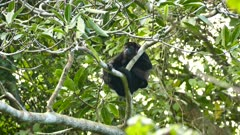 Mantled Howler Monkey (Allouatta Palliata) closing and opening eyes