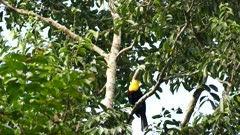 Swainson's Toucan jumping to higher branch through ants carrying leaves